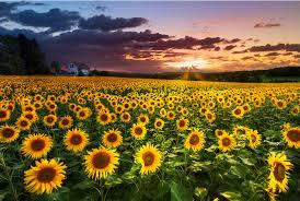 sunflowersmom